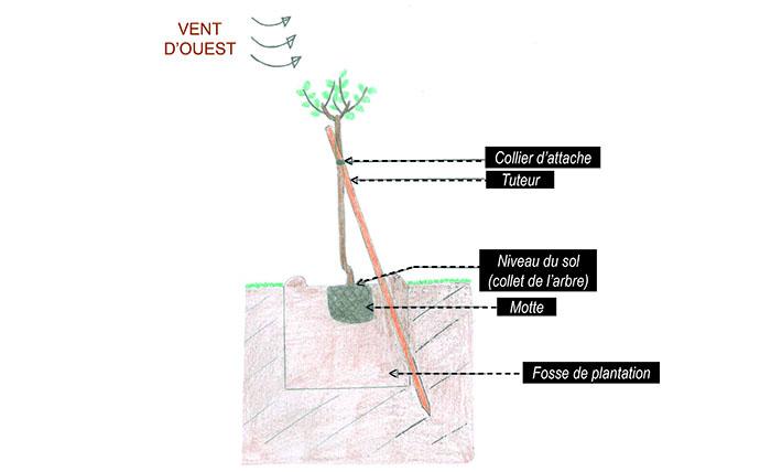 Les arbres fruitiers les choisir les planter - Arbre a faible racine ...