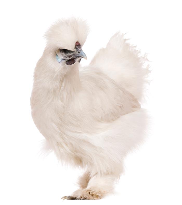 La poule de soie inspirations desjardins for Duree de vie des poules pondeuses