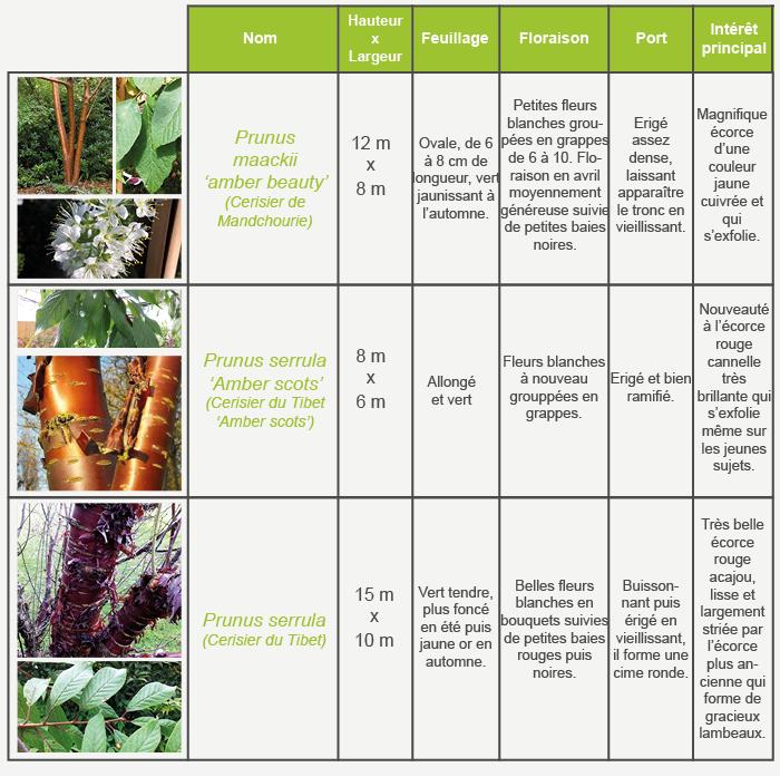 Cerisier Bois Puant : LES CERISIERS FLEURS ET AUTRE PRUNUS Inspirations Desjardins