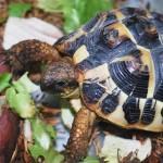 caractéristiques de la tortue de terre