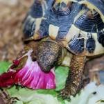 l'alimentation de la tortue de terre