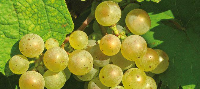 Les vignes à fruits