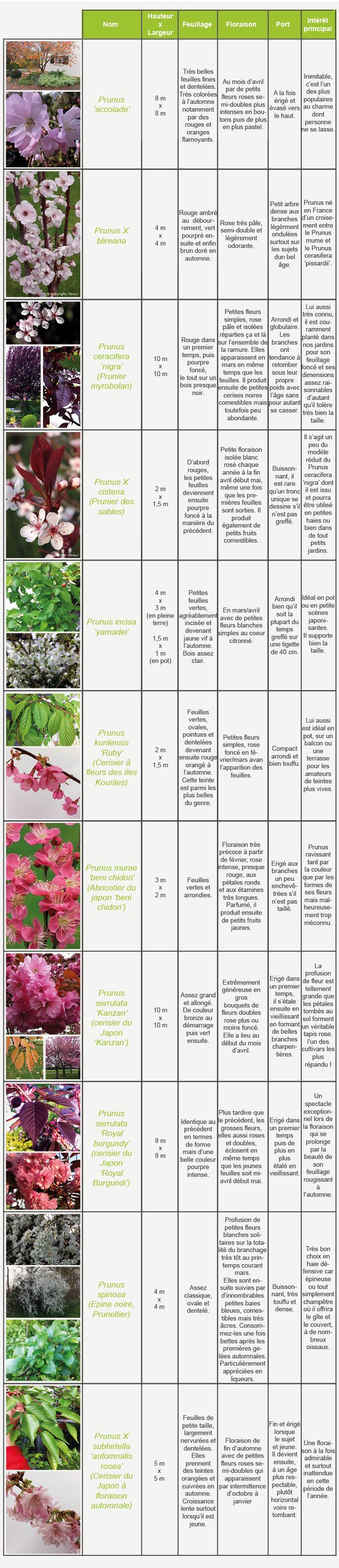 Hauteur Cerisier Du Japon les cerisiers fleurs et autre prunus | inspirations desjardins